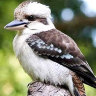 Perth man fined $2500 for ripping head off Kevin the Kookaburra