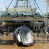 Japan to withdraw from IWC to resume commercial whaling: reports