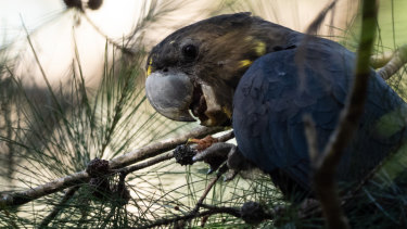 A glossy black cockatoo, which almost exclusively eats cones from dropping she-oak trees