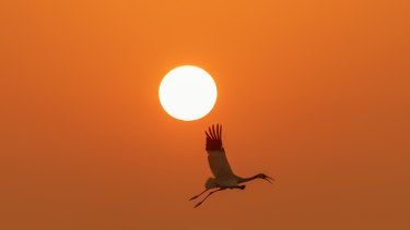 A delight to watch: a Siberian crane in flight.