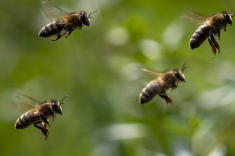 Bees are responsible for the highest number of venomous hospitalisations and deaths in Australia.
