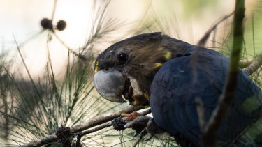 Glossy black cockatoos are among species that will suffer habitat loss with the demise of old-growth trees in NSW.