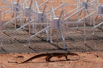 A racehorse goanna explores one of the tiles in the Murchison Widefield Array, a precursor project to the Square Kilometre Array.
