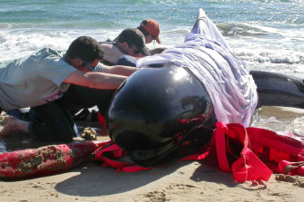 Workers cover a beached pilot whale (but not its blowhole) to keep the sun off as they attempt to rescue it after a mass stranding at Marion Bay, Tasmania, in 2005.