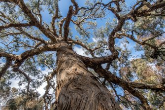 The Djab Wurrung call this ancient Indigenous tree the Directions Tree, which they believe grew from a seed and the placenta of their ancestor many centuries ago. It is set to be chopped down, but this has not yet occurred.