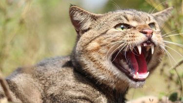 A parliamentary inquiry will investigate the impact on Australia's wildlife of feral cats, which kill millions of native animals each day.