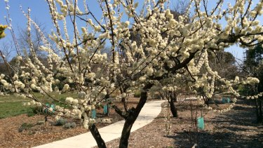 Blossom on old plum tree in Tocumwal Housing Precinct Community Orchard in O'Connor.