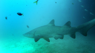 A grey nurse shark surveys its habitat off Maroubra. The same species is believed to be responsible for biting Mr Schultz.