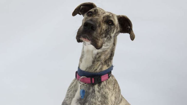Police were told the dog involved in the attack was a great Dane., such as this one