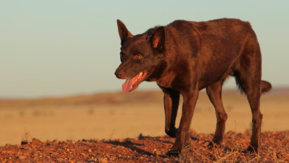 'Extraordinary': Final Red Dog film pays tribute to a beloved kelpie