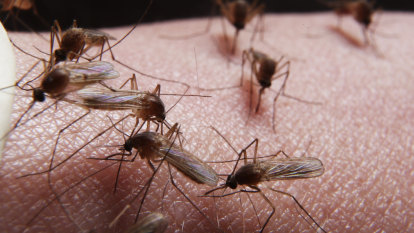 'Longer than previous years': mozzies lingering as winter approaches