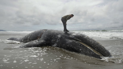 Homeowners asked to help deal with huge number of dead whale carcasses