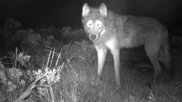 A wolf caught on a game camera.