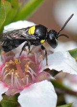 An Australian hylaeus bee.