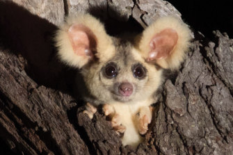 The greater glider is a protected species in both Victoria and NSW.