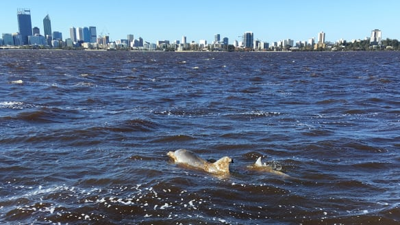 Public urged to watch for entangled dolphin and her calf in Swan River