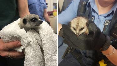 Astolen meerkat rescued by Kensington Police.