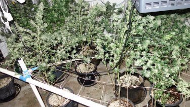 Police discovered almost 600 cannabis plants as part of the ongoing operation.