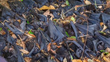 Thousands of spectacled flying foxes died in far north Queensland after temperatures soared above 42 degrees.
