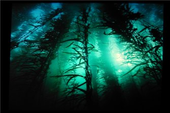 The Tasman Sea is warming at four times the global average, placing at risk giant kelp forests off the Tasmanian coast.