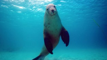 The largest remaining population of endangered Australian sea lions fishes the waters of the Great Australian Bight.
