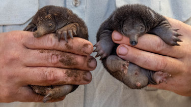 """Very little is known about echidna breeding, because the animals are """"really secretive""""."""