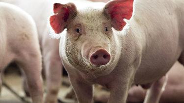 Pig hearts could soon be tested in humans.