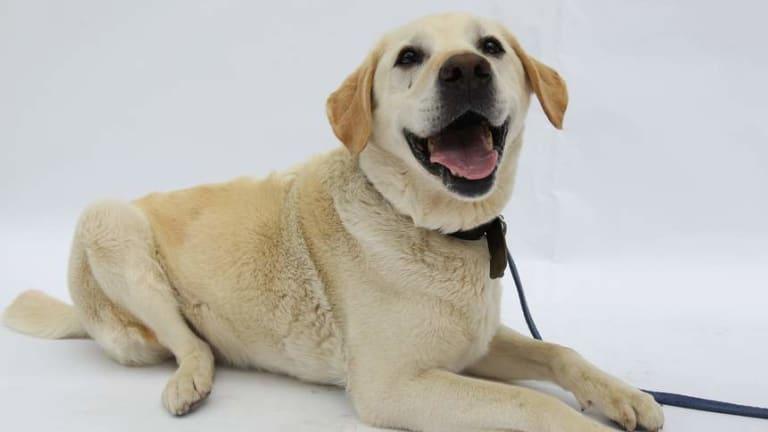 Meet Brisbane's favourite dog: the Labrador retriever.