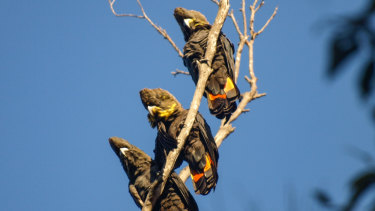 Three glossy black cockatoos sit in a tree.