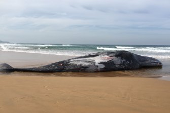 The 16-metre sperm whale carcass which washed up on Sunday at Phillip Island.