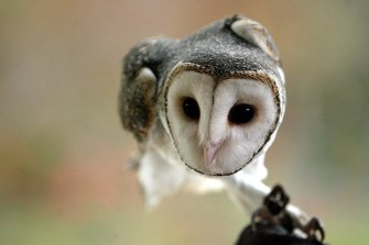 Very little is known about the elusive masked owl.