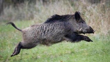A wild boar in Europe.