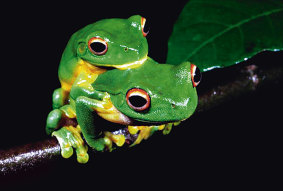 Green tree frogs mating in the ABC television documentary Wild Australasia.