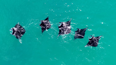 Manta rays photographed during a Pangaea expedition, near Ashmore Reef off WA's northwest coast. Mantas are filter-feeders, affected by microplastic pollution.