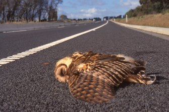 A dead masked owl in Victoria.
