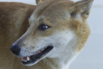 The proposal to re-introduce dingoes into the Grampians National Park has been fiercely opposed by local farmers.