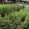 'He's destroyed that future': Uni graduate jailed over cannabis grow house role