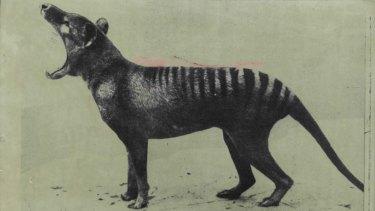The lastThylacine (Tasmanian Tiger) died at Hobart zoo in 1936. It was declared extinct in 1986.