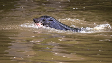 Salvatore the seal in the Yarra River.