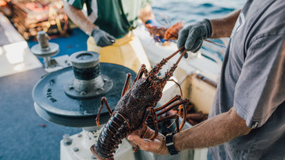 Banned Australian lobsters are sneaking into China via Hong Kong