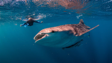 Face to face with a whale shark in the waters of the Ningaloo Marine Reserve.