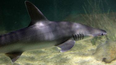 The bonnethead shark.