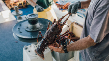 The state government has backed down on its rock lobster plan.