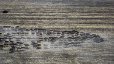 A mob of sheep stirs up the dust in a failed wheat crop near Moree  in November 2019.