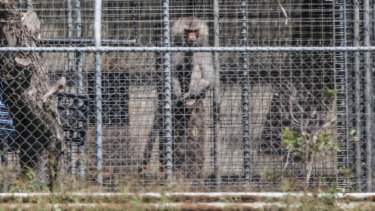A baboon sits and looks out from behind security fencing at the National Health and Medical Research Council facility in Wallacia in Sydney's west in a file picture.