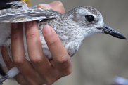 A Grey Plover stays calm in the hand of Taiwanese ecologist Emilia Lai at Bald Hill, Gulf St Vincent, SA.