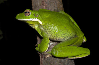 The white-lipped tree frog is one of the amphibian species that seems to cope with human disruptions so far.
