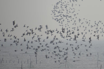 Flocks of shorebirds take wing in the early morning on the Yellow Sea, China.