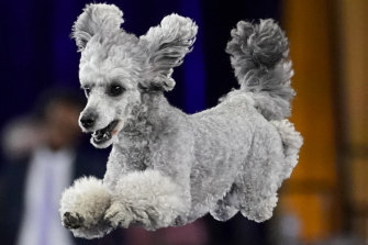 Not a dog lover? A poodle might change your mind.