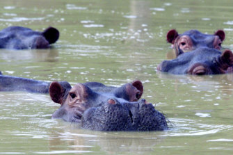 Columbia's hippopotamus population is expected to rise to 1,500 without dramatic intervention.